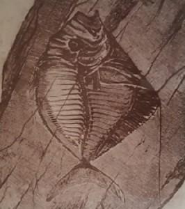 Giancarlo Caneva – Pesce fossile