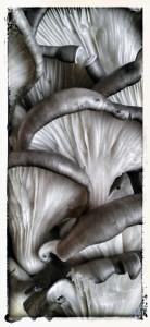 Tina Fugazzotto – Pleuretus ostreatus